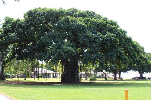 hawaii big tree summer