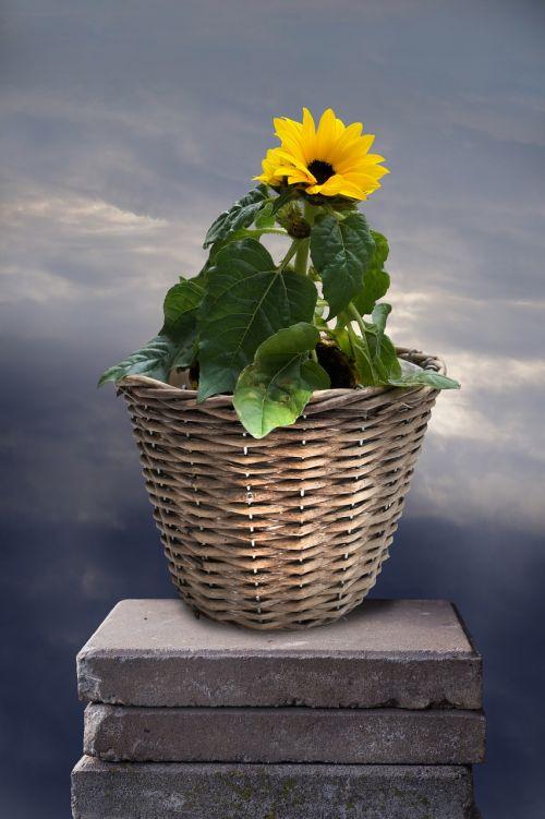summer flower sun flower yellow