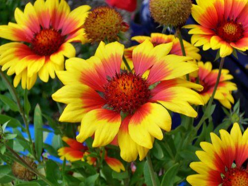 summer flowers mädchenauge enlarge view