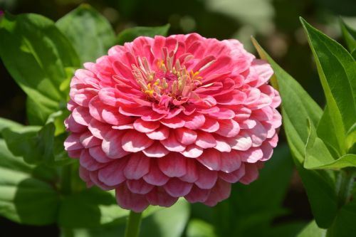 summer flowers pink color pink
