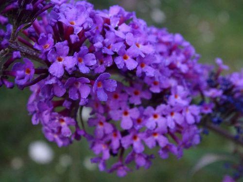 summer lilac buddleja davidii lilac