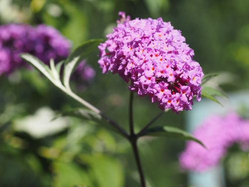 summer lilac summer nature