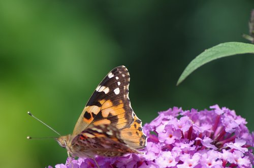 summer lilac  butterfly  nature