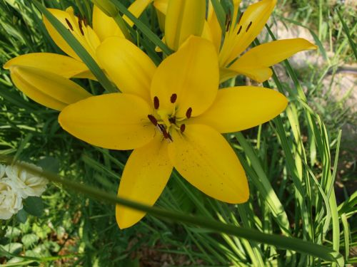 summer lily lust for life flowers