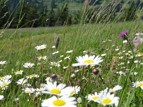 summer meadow  flower meadow  summer