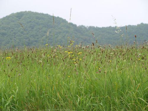 summer meadow grasses meadow