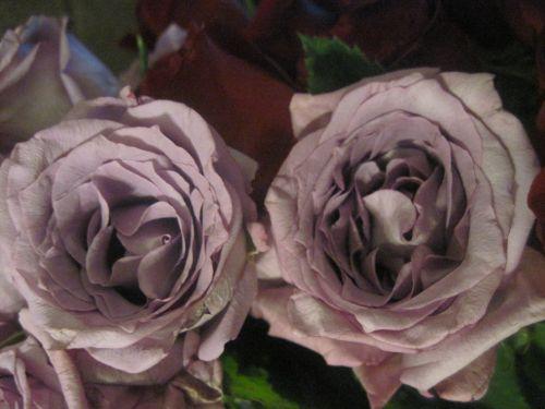 Summer Rose Blossoms 7