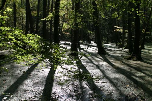 Swamp Forest In The Back Light