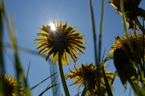 sun dandelion grass