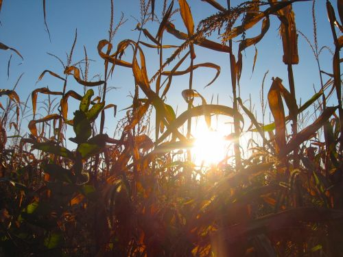 Sun And Young Corn Stalks