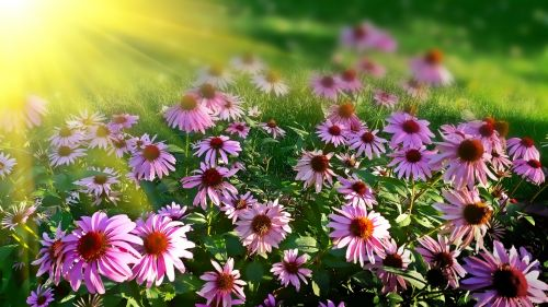Sun Drenched Cone Flowers