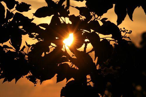 Sun Flare Through Foliage