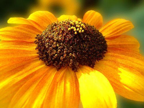 sun flower sun summer