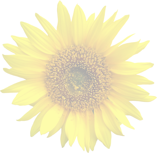 sun flower graphic isolated