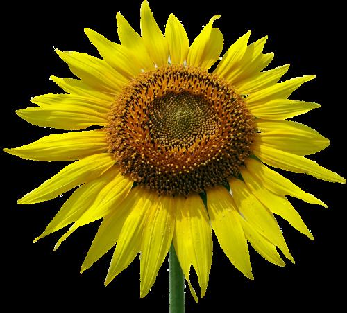 saulės gėlė,žiedas,žydėti,gėlė,vasara,augalas,gamta,geltona,geltona gėlė,vasaros gėlė,geltonos gėlės,sodas,izoliuotas