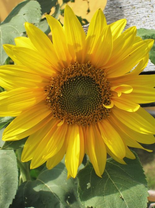 sun flower flower of summer bright yellow