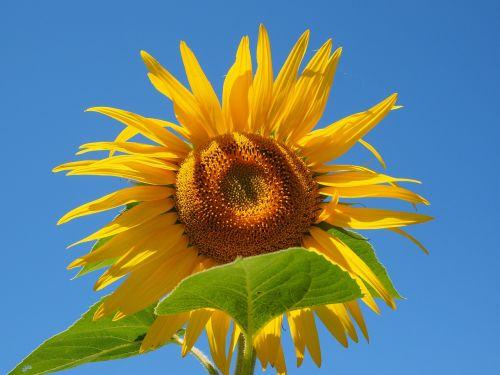 sun flower inflorescence flower basket