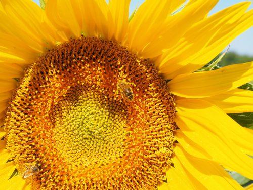 saulės gėlė,bičių,žiedas,žydėti,nektaras,žiedynas,gėlių krepšelis,gėlė,geltona,liežuvis,vamzdinės gėlės,helianthus annuus,gamta,augalas,gražus,saulėtas,spalvinga,šviesus,makro,Uždaryti
