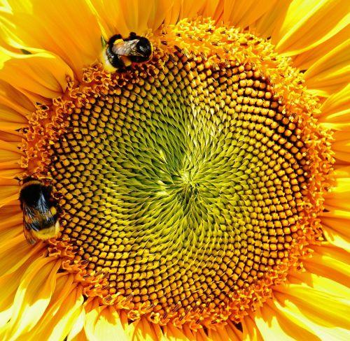 sun flower bumblebees summer
