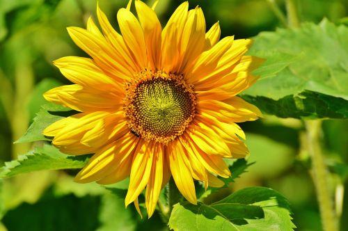sun flower bee summer