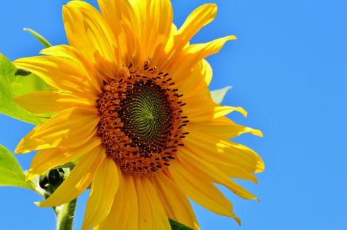 sun flower summer garden
