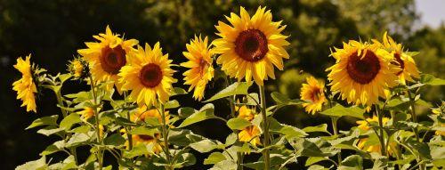 sun flower bees summer
