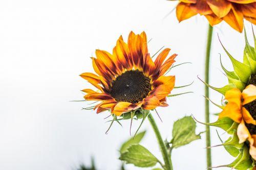 saulės gėlė,helianthus annuus,žiedas,žydėti,Uždaryti,makro