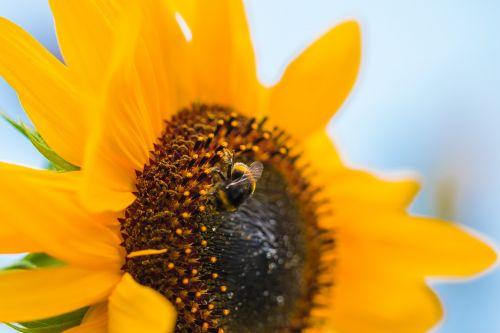 saulės gėlė,helianthus annuus,žiedas,žydėti,Uždaryti,makro,Hummel