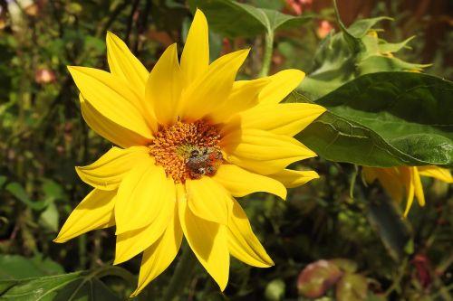 sun flower helianthus jerusalem artichokes blossom