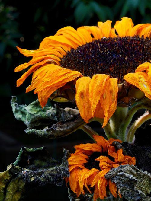 saulės gėlė,gėlė,žiedas,žydėti,išblukęs,nudrus,nudrus,sausas,trumpalaikis,trumpalaikis laikotarpis,laikas,senas,daugiau,gedulas,užuojautą