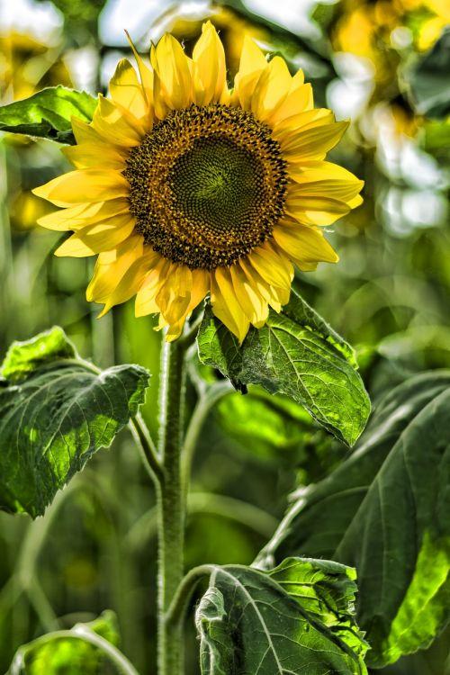 sun flower garden summer
