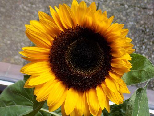 sun flower composites yellow