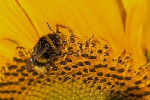 sun flower yellow hummel