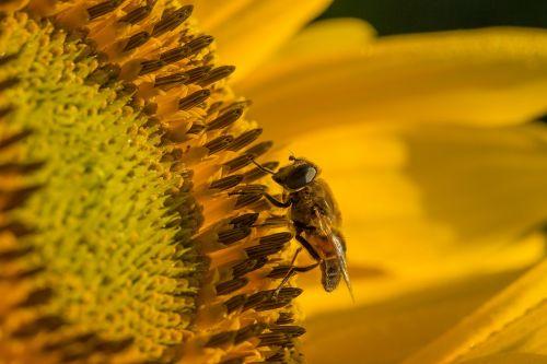 sun flower hoverfly blossom