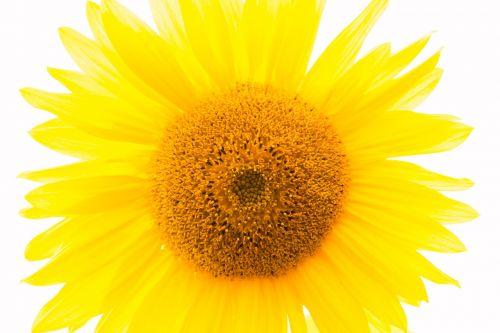 sun flower yellow flower