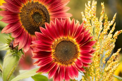 sun flower red flower