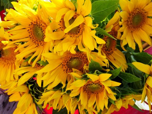 sun flower sunflower seeds sunflower oil