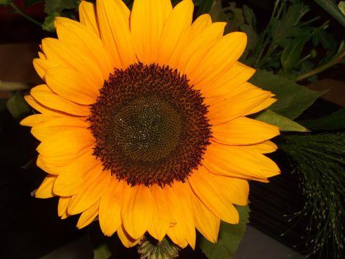saulės gėlė,geltona,makro,vasara,gėlė