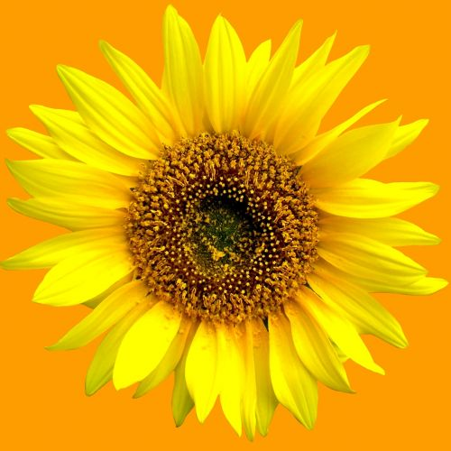 sun flower sunflower summer