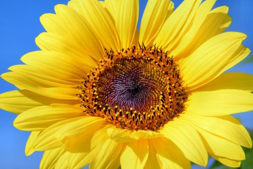 sun flower sunflower flowers