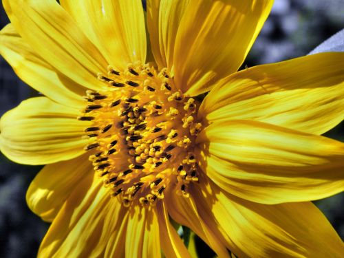 sun flower sunflower abruzzo