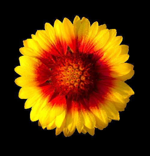 sun flower isolated flower sun