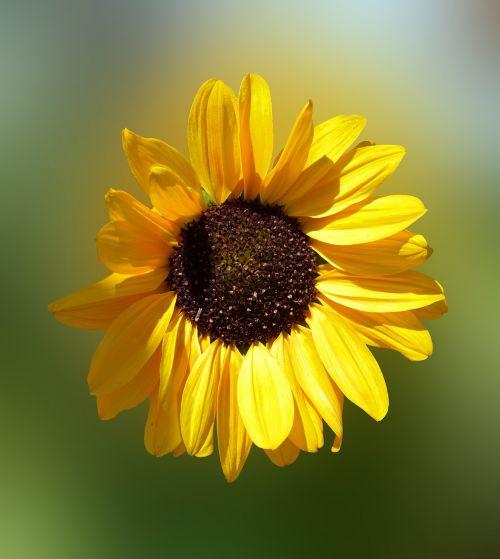 saulės gėlė,saulė,gėlė,žiedas,žydėti,geltona,vasara,saulėgrąžų sėklos,sodas,šviesus,saulėtas,geltona gėlė,vasaros gėlė,Uždaryti,augalas,gamta,gražus,flora,helianthus