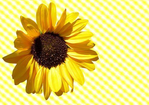 sun flower sun flower