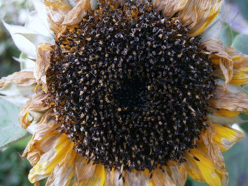 sun flower seeds cores