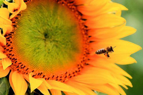 saulės gėlė,žiedas,žydėti,vabzdys,bičių,vasara,augalas,gamta