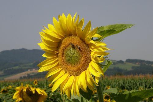 sun flower yellow nature