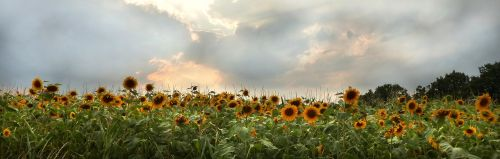sun flower flower helianthus annuus