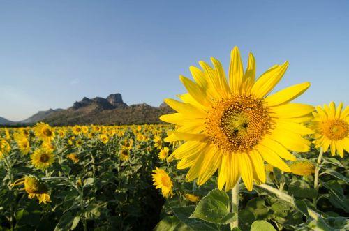 sun flower khao chin lae lop buri