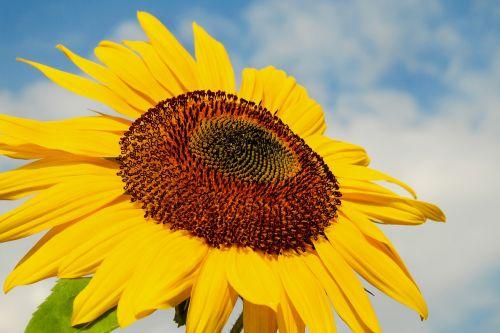 sun flower flower blossom